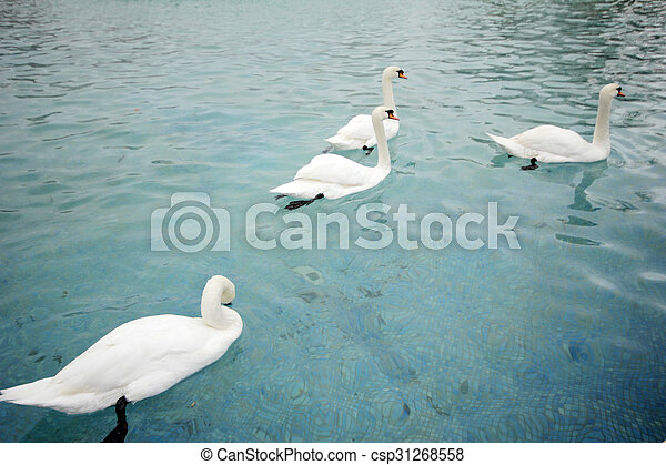 swans swimming - csp31268558