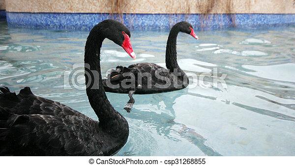 swans swimming - csp31268855
