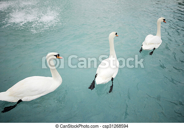 swans swimming - csp31268594