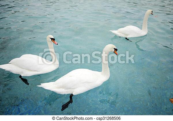 swans swimming - csp31268506