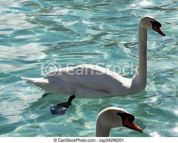 swans swimming - csp34296201