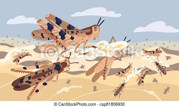 Swarm of locusts attacking plants field vector illustration. Insects threatening food security. Pest of rice meadow. Agricultural plague natural devastation of herb. Grasshoppers on ripe seed head - csp81806930