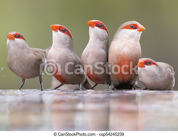 Swarm of small and beautiful Common Waxbill drinking water at pond - csp54245239