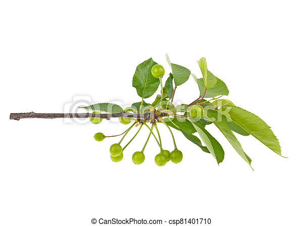 sweet cherry branch with leaves large and small on a white background, isolated. - csp81401710