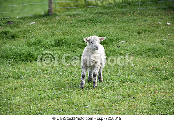 Sweet Faced Young Lamb Standing in a Field - csp77250819