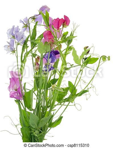 """""""sweet, fleurs, pea"""", isolé - csp8115310"""
