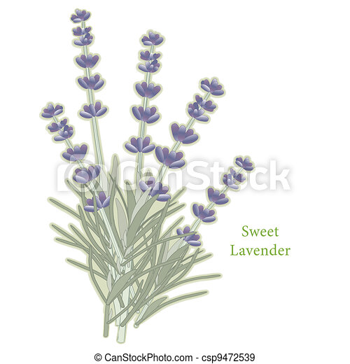 Sweet Lavender Herb - csp9472539