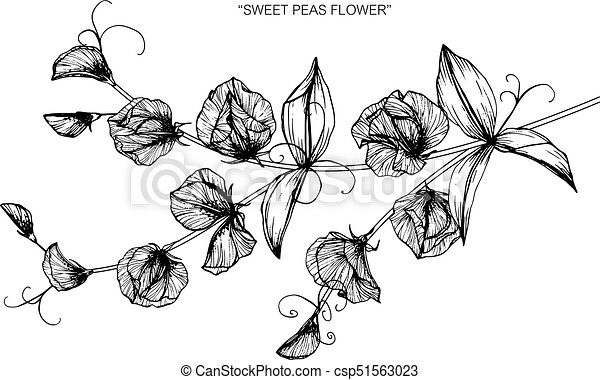 Sweet pea flower drawing and sketch with black and white vector sweet pea flower drawing and sketch with black and white line art mightylinksfo