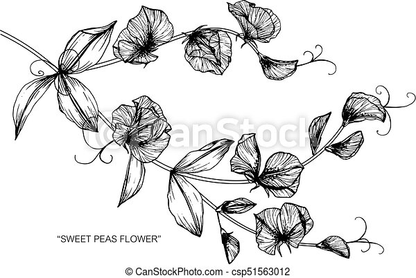 Sweet pea flower drawing and sketch with black and white line art mightylinksfo