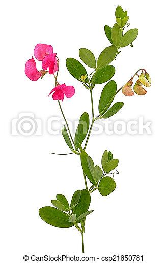 Sweet pea flowers lathyrus odoratus isolated on white pictures sweet pea flowers lathyrus odoratus csp21850781 mightylinksfo Image collections