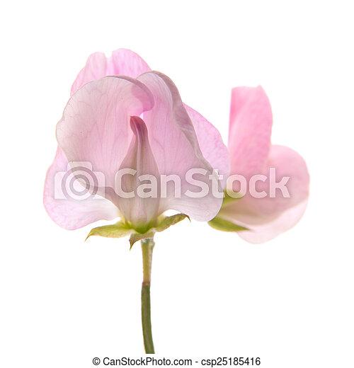 Sweet pea flowers isolated on white sweet pea flowers csp25185416 mightylinksfo