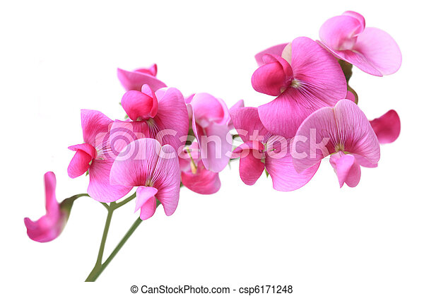 Sweet Pea Flowers Sweet Pea Dark Pink Flowers Isolated On White
