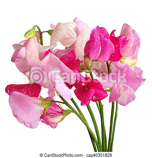Sweet pea flowers isolated on white background stock photo search sweet pea flowers csp40351828 mightylinksfo Image collections
