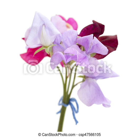 Sweet pea flowers of different colors small posy isolated on white sweet pea flowers csp47566105 mightylinksfo