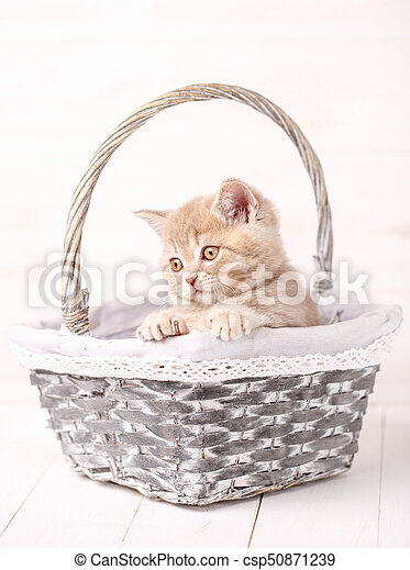 Sweet Scottish cream color kitty siting in a wicker basket. Portrait of a cat. - csp50871239