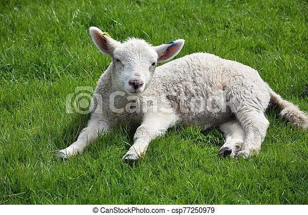 Sweet Sleepy Lamb Laying in a Grass Field - csp77250979