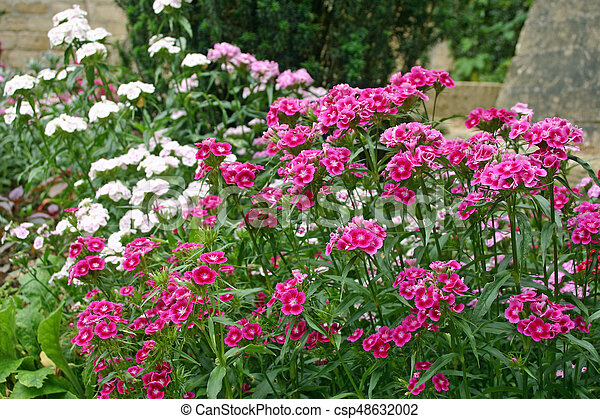 Sweet william flowers a flower bed filled with deep pink pale pink sweet william flowers csp48632002 mightylinksfo