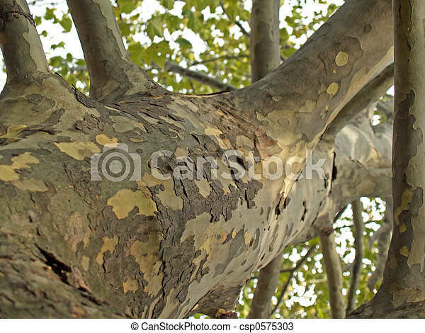 Sycamore Tree Trunk  - csp0575303