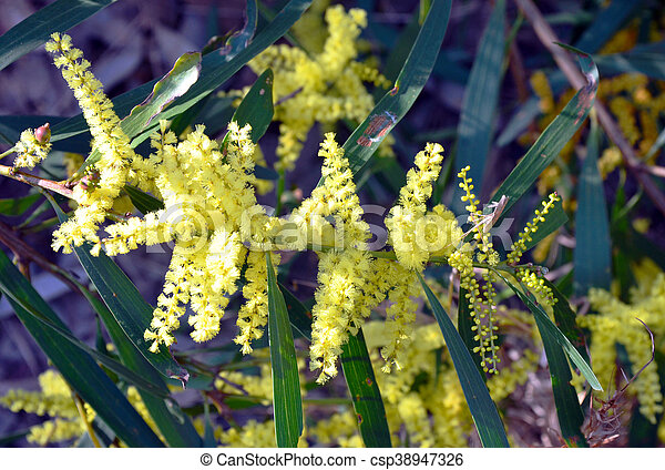 Yellow flowers of the sydney golden wattle acacia longifolia in yellow flowers of the sydney golden wattle acacia longifolia in the royal national park new south wales australia mightylinksfo