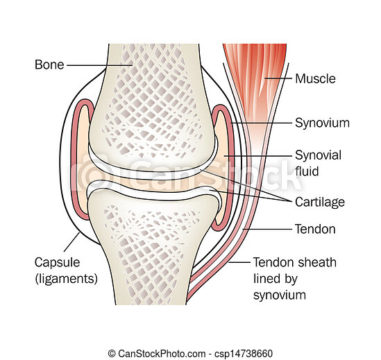 Synovial Joint Labeled