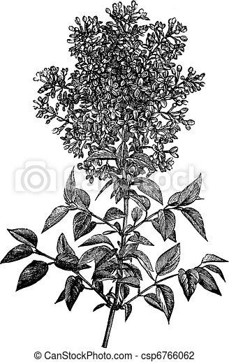 Syringa vulgaris (lilac or common lilac) vintage engraving - csp6766062