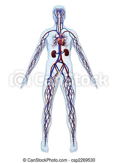 systém, cardiovascular - csp2269530