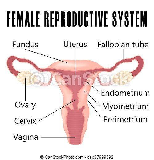 System., hembra, reproductor. Sistema reproductor, ovarios, hembra ...