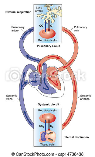 systemic, lungen, circulations - csp14738438