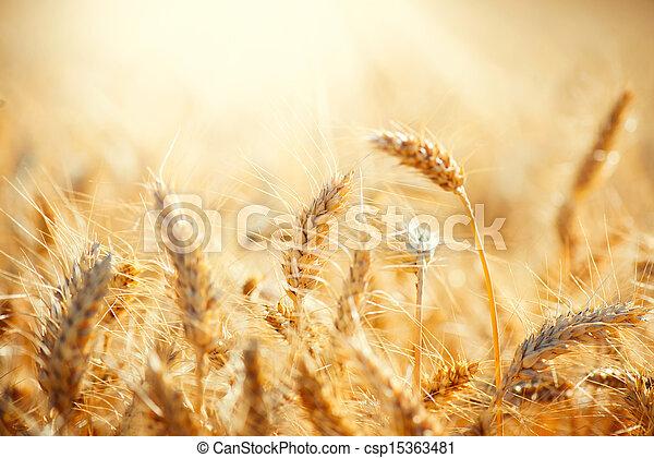 száraz, arany-, fogalom, wheat., mező, betakarít - csp15363481