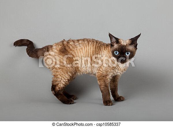 Szary Rex Devon Tło Kot