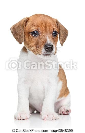 W Ultra Szczeniak, jack-russell, pies. Siada, russell, lewarek, tło, biały TY44