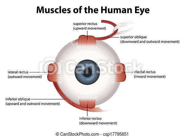szem, emberi - csp17795651