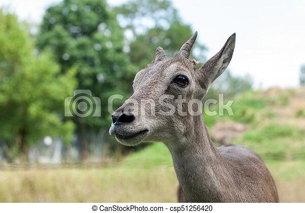 tête, jeune, gazelle - csp51256420