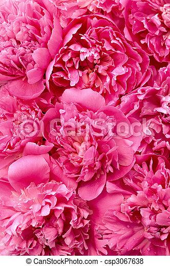 têtes, fleur, -, pivoine, fond - csp3067638