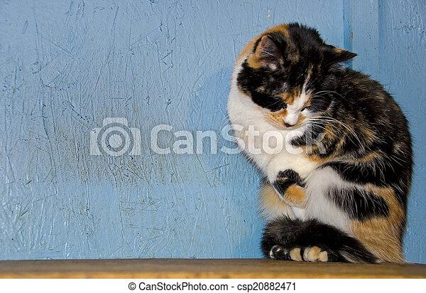 Gato tímido calico - csp20882471