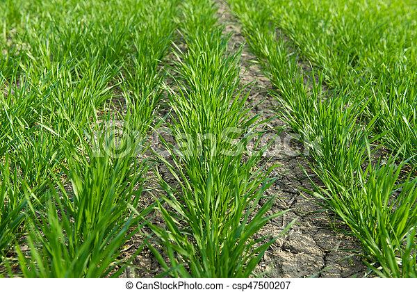 tôt, printemps, blé, hiver, champ - csp47500207