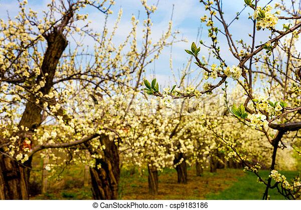 tôt, printemps, verger, temps - csp9183186