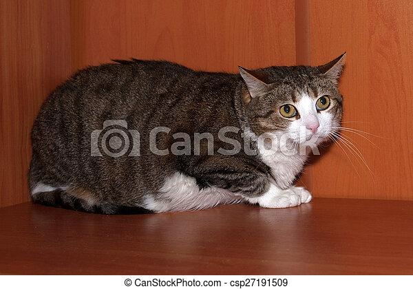 Tabby and white scared cat lying on shelf - csp27191509