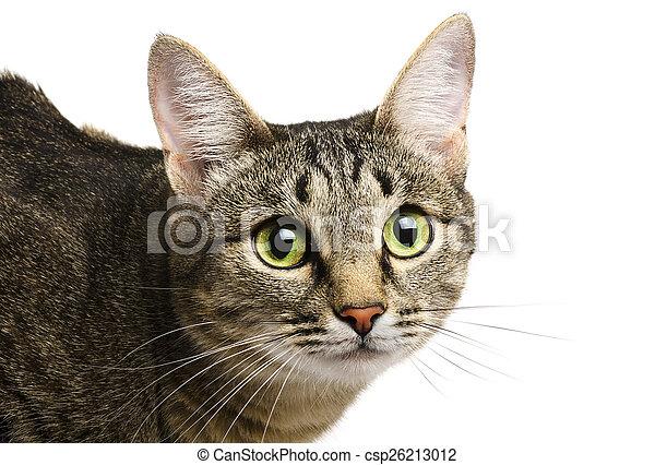 Tabby cat - csp26213012
