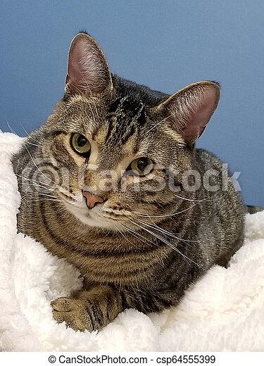 tabby tom cat on white blanket - csp64555399