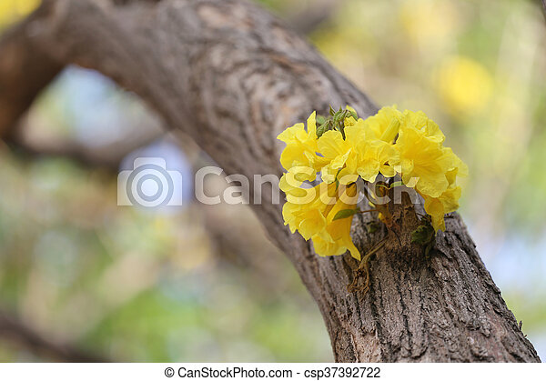 Tabebuia spectabilis flower or yellow tabebuia flower bloom on tree in the garden tabebuia spectabilis flower or yellow tabebuia flower bloom on tree in the garden csp37392722 mightylinksfo