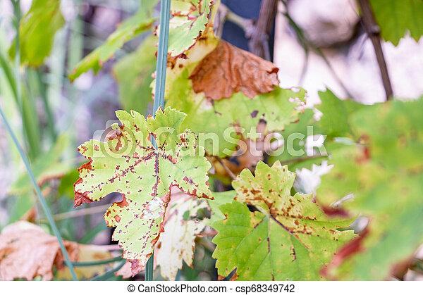 tacheté, feuilles automne, vigne, rouille - csp68349742