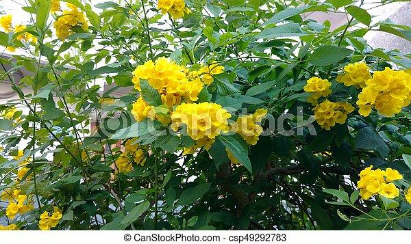 Tacoma stansyellow elderstrumpet flowers bunch of pictures tacoma stansyellow elderstrumpet flowers csp49292783 mightylinksfo