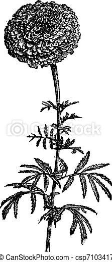 Tagete stands (Tagetes erecta) or Mexican Marigold, vintage engraving. - csp7103417
