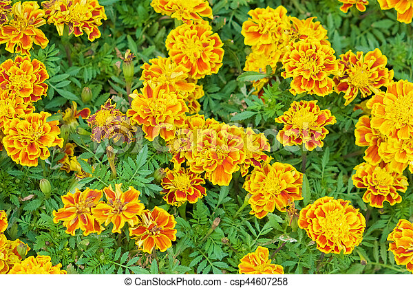 Tagetes erecta or marigold with green leaves - csp44607258