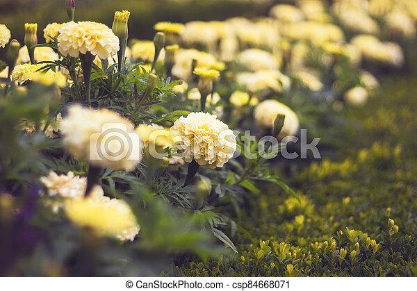 tagetes, francouzština, lehký, patula, měsíček, zbabělý, -, květiny - csp84668071