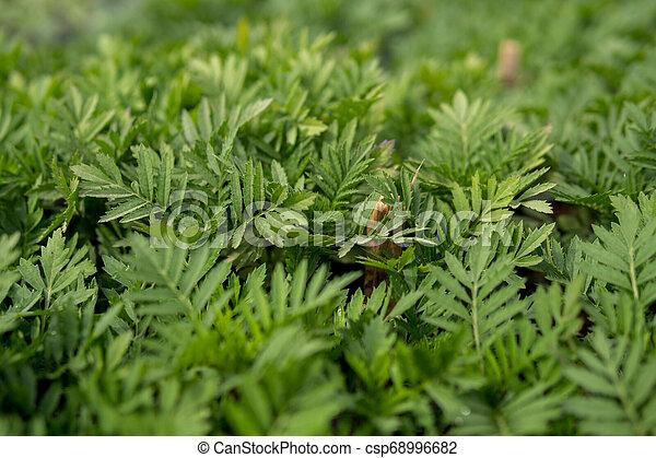 tagetes leaves - csp68996682