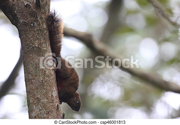 Taiwan squirrels - csp46001813