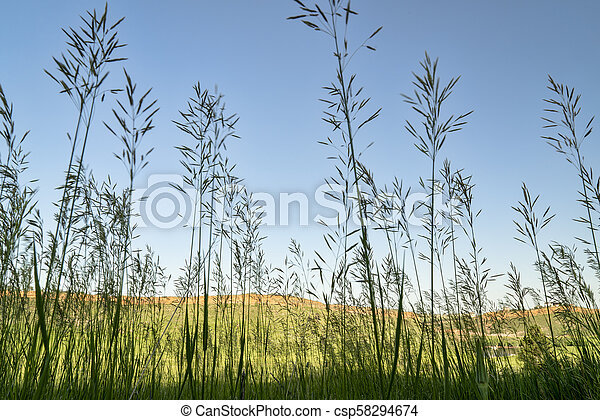tall grass silhouette. Contemporary Tall Tall Grass Silhouette In Colorado Foothills  Csp58294674 On Grass Silhouette E