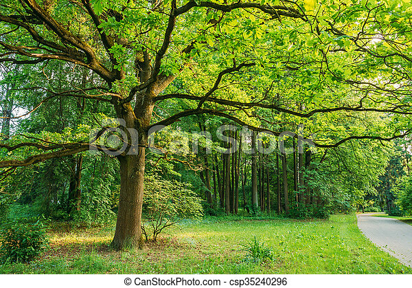 Tall Oak Tree in Summer Park. Spring Nature. Deciduous Forest - csp35240296
